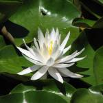 """""""Lotus in the pond at Mont Destin Wine Estate in Fr"""" by seema"""