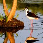 """Black Neck Stilt Reflect"" by DAD"