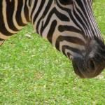 """""""Zebra"""" by knotaway"""