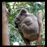 """""""Koala"""" by majkl20"""