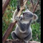 """""""Little koala"""" by majkl20"""