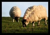 Derbyshire Sheep