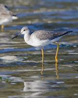 Greater Yellowlegs (Tringa melanoleuca) in the Mor