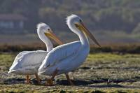White Pelicans, Pelecanus erythrorhynchos in the M