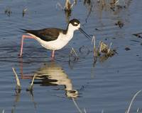 black-necked-stilt-morro-creek_346