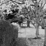 """Birch Trees in Autumn"" by rjev"