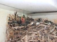Baby Birds on Porch 002
