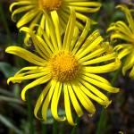 """Lionhead Daisys"" by doctor_creek"