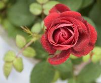 Frosted Red Rose 2