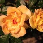 """Orange rose"" by degzydelgrano"
