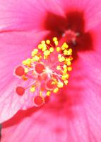 Hibiscus - close up