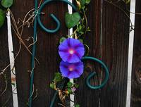 fenceflowers