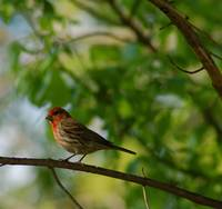 Little Red Headed Finch