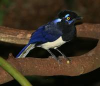 Plush-crested Jay (Hurraca Común)