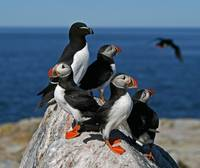 Atlantic Puffins and Razorbill
