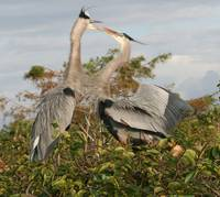 Great Blue Herons courting