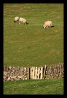 Sheep & Gate