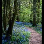 """Bluebell Wood"" by Merlin_Studios"