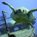 """Turtle next to sunken boat in Maui"" by EdBierman"