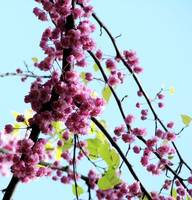 redbud beauty