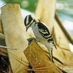 """Downy Woodpecker Bird"" by kphotos"