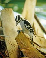 Downy Woodpecker Bird