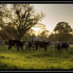 """Cows HDR"" by imc4rm"
