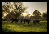 Cows HDR