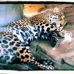 """""""Jaguar (not leopard)"""" by ldm"""
