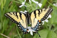 Wild Butterfly Tiger Swallowtail