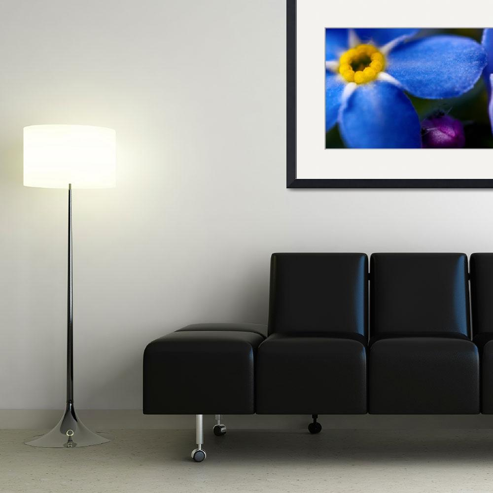 """SINGLE BLUE WOOD-FORGET-ME-NOT FLOWER&quot  (2010) by photographybyryankelly"
