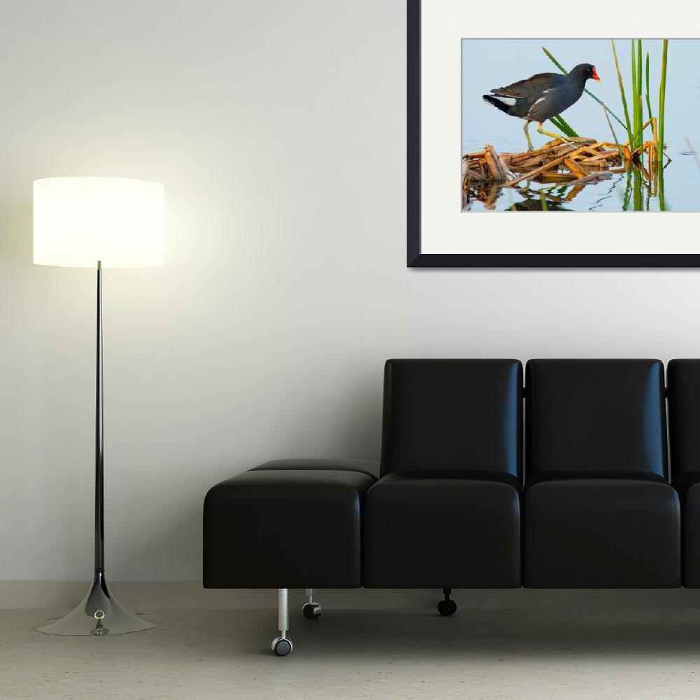 """Common Gallinule Walking on Dead Reeds&quot  (2014) by NatureAsArt"