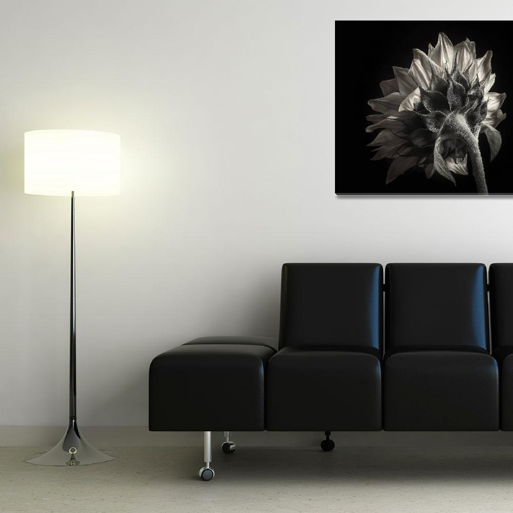 """Sunflower Study In Black and White III&quot  (2012) by dawnleblanc"