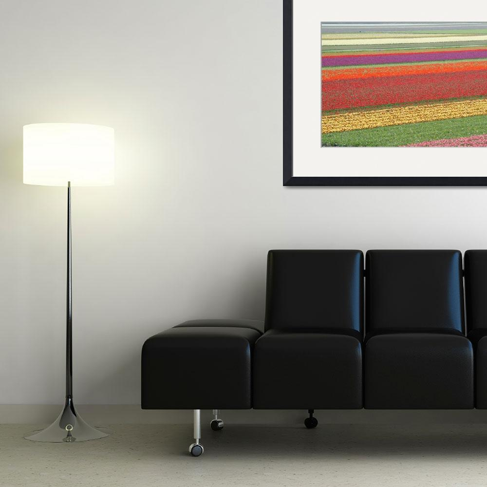 """Fields of Tulips&quot  by vicki"