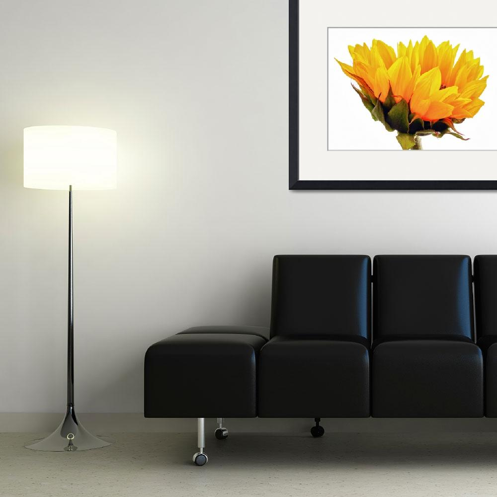 """Yellow Sunflower&quot  (2012) by patsphotos"
