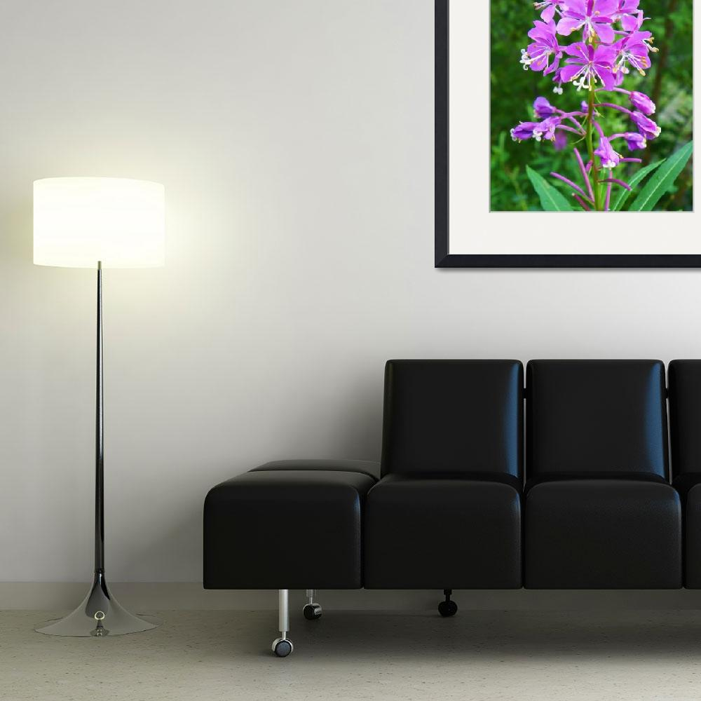 """Fireweed Chamerion latifolium&quot  (2011) by vpicks"