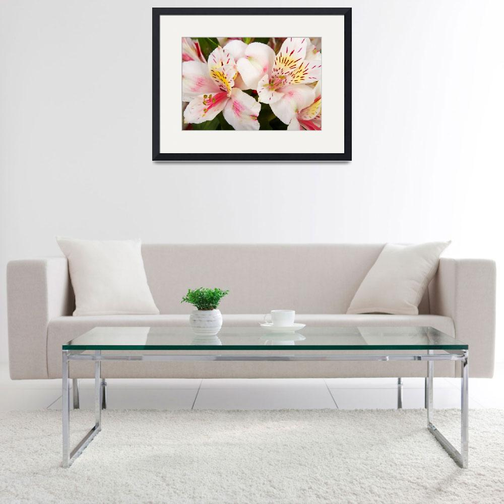 """Peruvian Lilies Flowers White and Pink Color Print&quot  (2011) by lightningman"