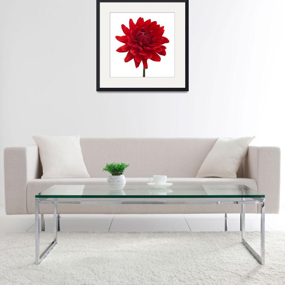 """Red Dahlia Flower White Background&quot  by NatalieKinnear"