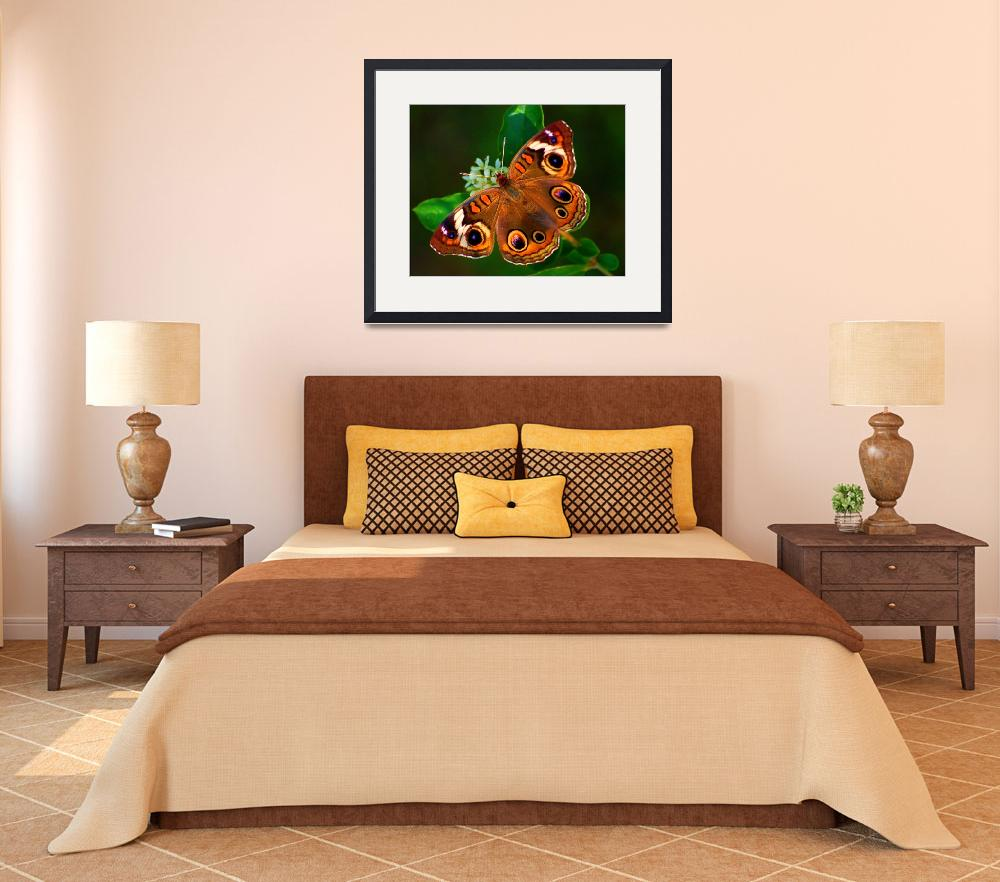 """Common Buckeye&quot  (2009) by praslicka"