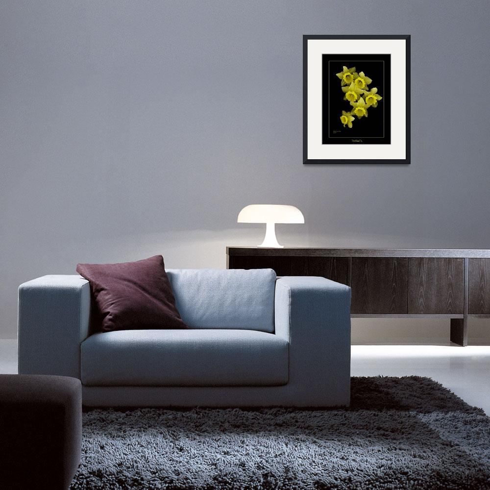 """Daffodils on Black&quot  (2008) by DocPixel"