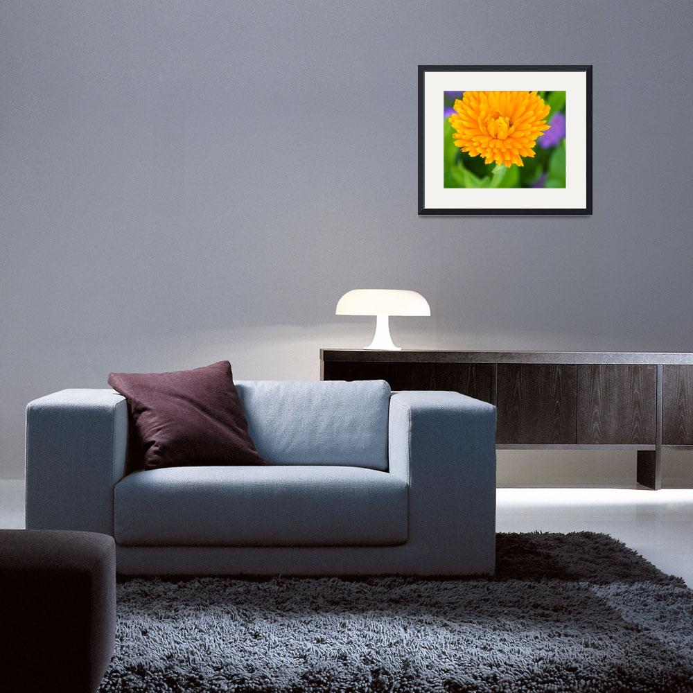 """Marigold Opening&quot  (2012) by twostarphotography"