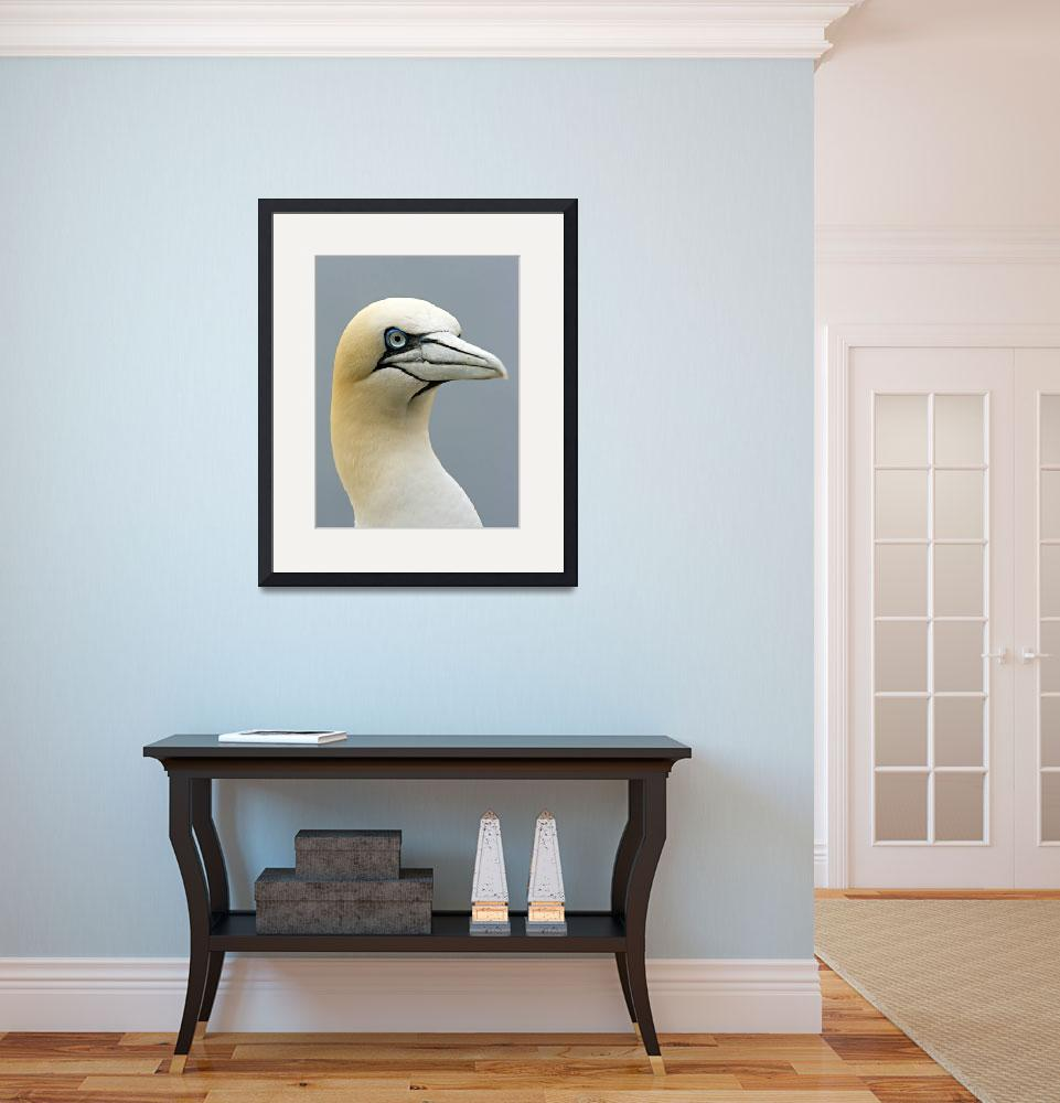 """A Gannet on Bass Rock&quot  (2008) by Sparky2000"