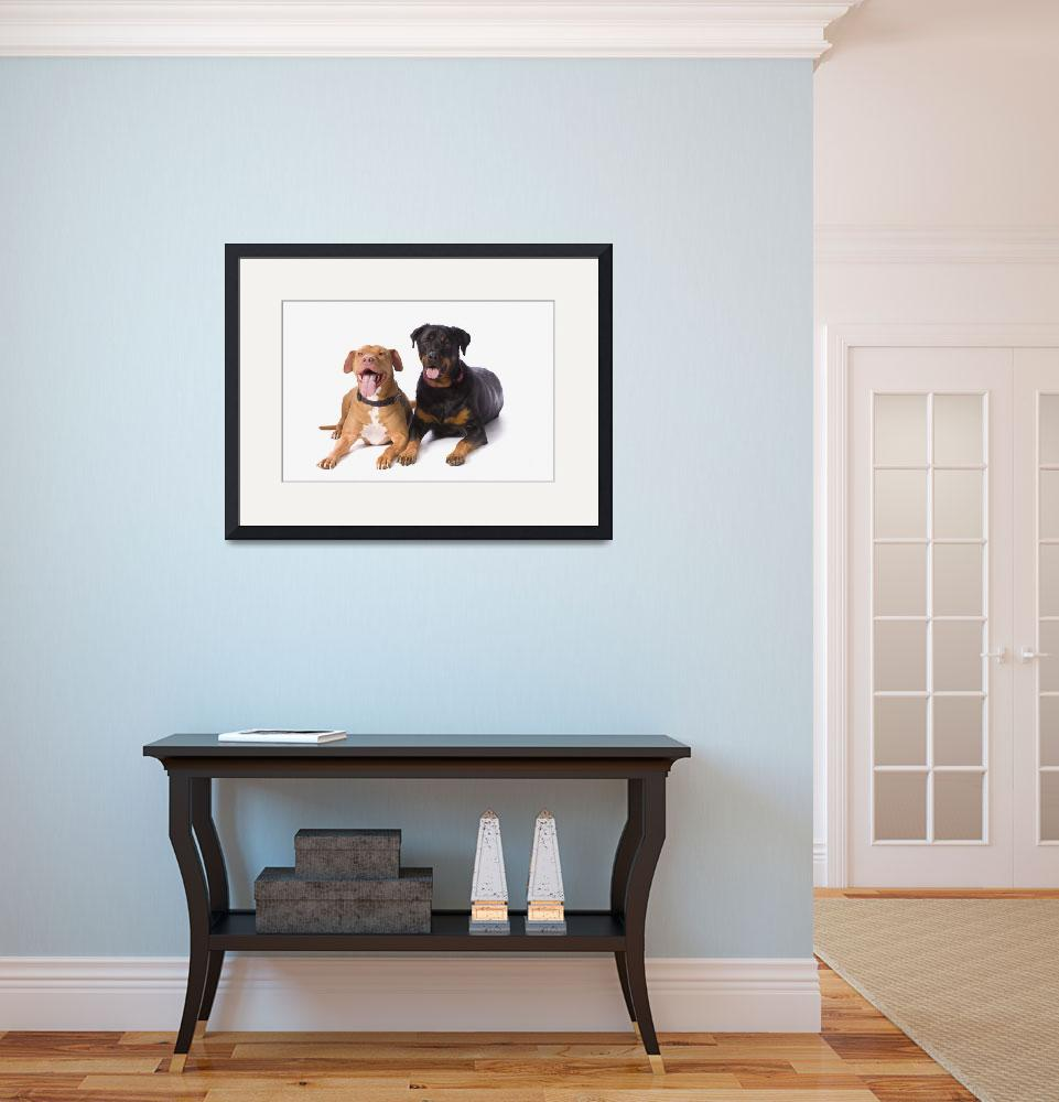 """A Pit Bull And A Rottweiller On A White Studio Bac&quot  by DesignPics"