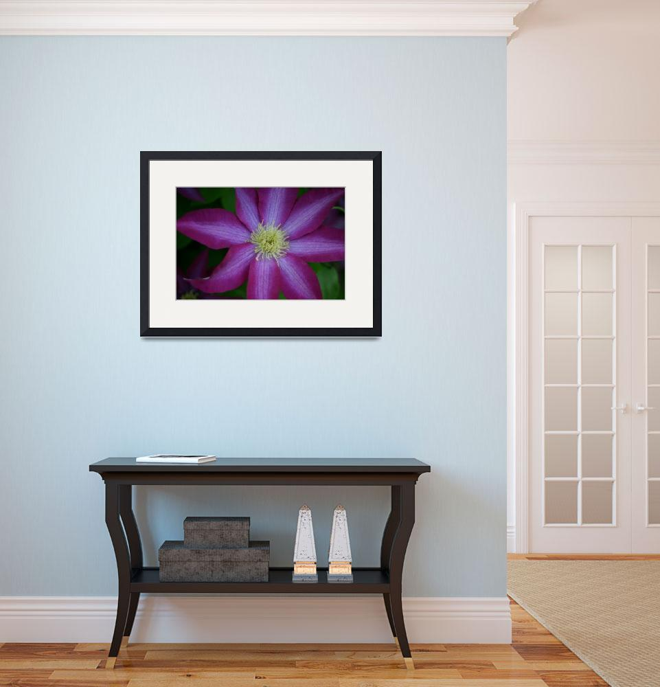 """Single Purple Clematis Blossom&quot  (2008) by imaginativeimagery"