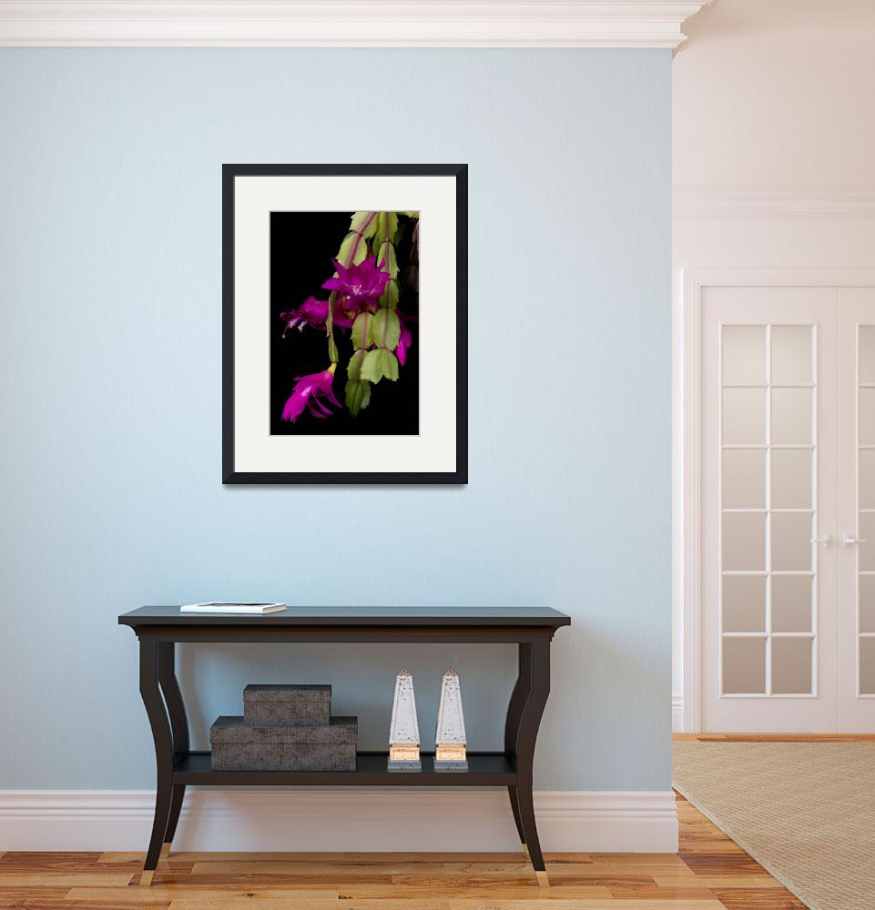 """Christmas Cactus Purple Flower Blooms&quot  (2011) by lightningman"