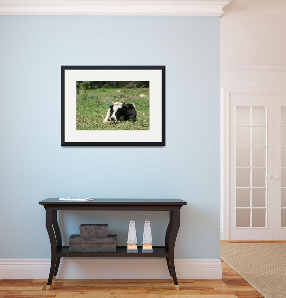 """Hershey Cow Lying in a Meadow&quot  (2012) by rhamm"
