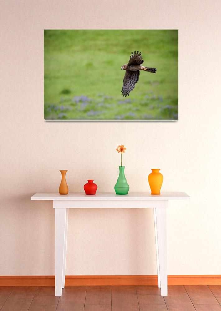 """Northern Harrier Fly by&quot  (2010) by Dawsonimages"