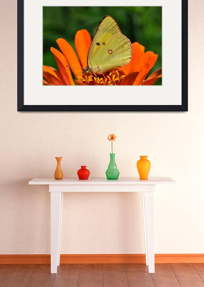 """Common Sulphur Butterfly & Zinnia&quot  (2010) by evansonart"