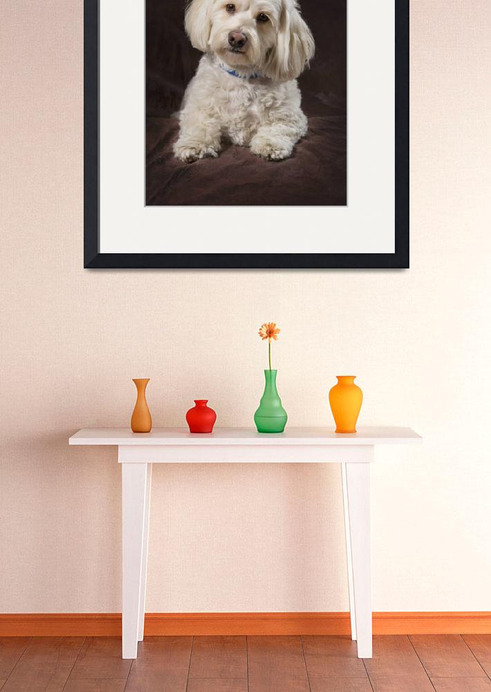 """Shih Tzu-Poodle On A Brown Muslin Backdrop&quot  by DesignPics"