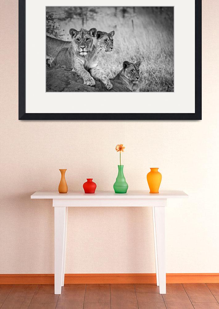 """African Lions #1&quot  (2012) by mjphoto-graphics"